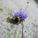 Scotland - bumblebee and purple flower