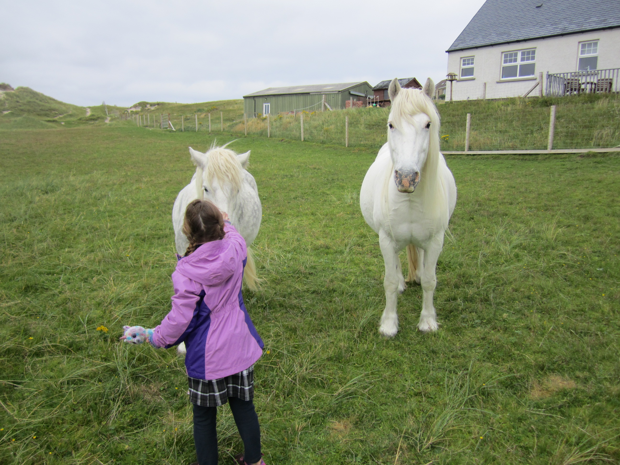 Scotland - CH and white ponies